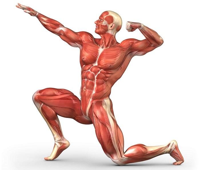 Анатомический функционал мышц.