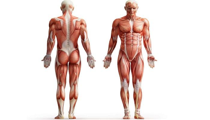 Как и почему растут мышцы.